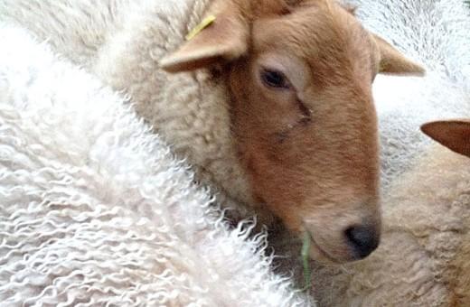 Hoftiere: die Schafe