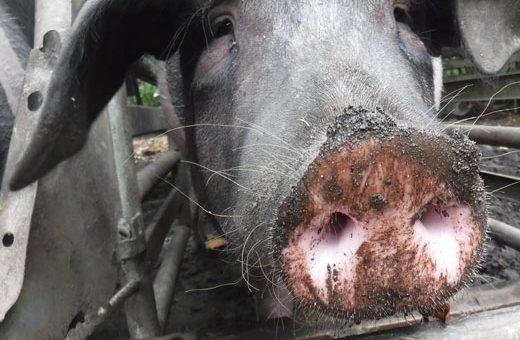 Hoftiere: die Schweine
