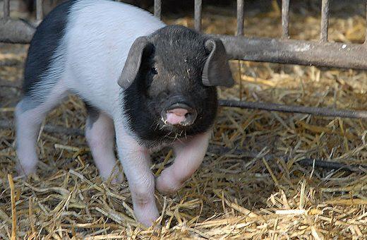 Nachwuchs bei den Schweinen